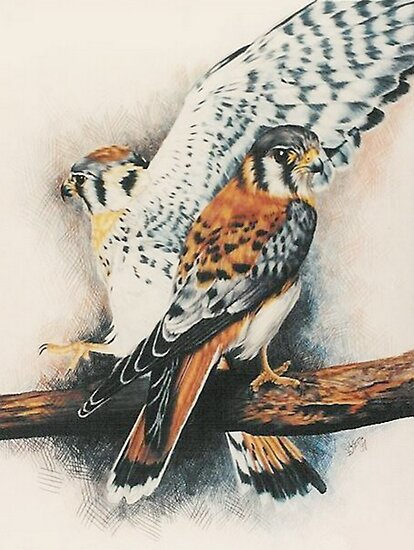American Kestrel by BarbBarcikKeith