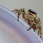 Jumping Spider by relayer51
