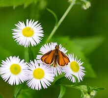 Orange Skipper Butterfly by Christina Rollo