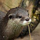 Another sodden otter by Matt West