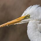 Great Egret by Kym Bradley