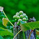 Grapes by Carolyn Clark