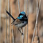 Male Blue Wren by Kym Bradley