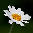 Daisy Daisy, Give me Your Answer Do, by AnnDixon