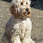 Cocker Spaniel/Poodle Mix  Named   Murphy by lynn carter