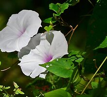 Pink and White Morning Glory by Scott Mitchell