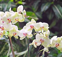 White Orchids  by nature34