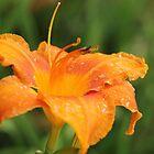 fresh orange lily by ANNABEL   S. ALENTON