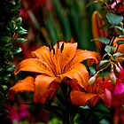 Tiger Lily by Roger Passman