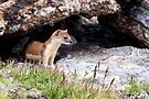 Long-tailed Weasel by Eivor Kuchta