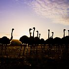 Ostriches by lightwanderer