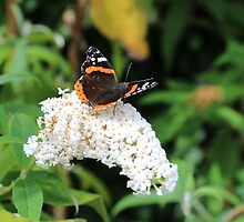 Red Admiral by Lightrace