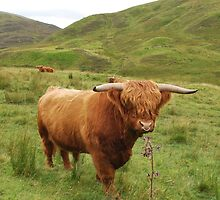 Highland Coo by Miasart