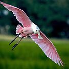 Spoonbill Coming At Me by imagetj