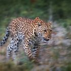 Leopard on the Prowl by Owed to Nature