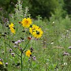 Wildflowers by Fay Freshwater