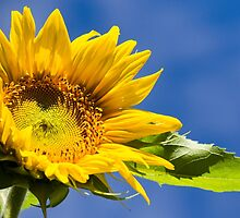 Sky High Sunflower by Christina Rollo