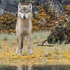 Katmai Wolf by Linda Sparks