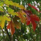 Autumn Cometh - Acer by lezvee