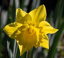 Daffodil at Gazebo Leith Park 201408300424 by Fred Mitchell