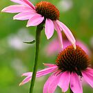 The Coneflower Ballet  by lorilee