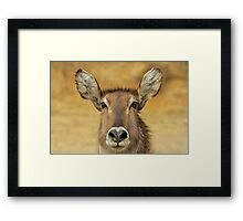 Waterbuck - Focused Stare - African Wildlife Framed Print