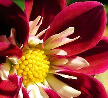 red and white dahlia by Miriam Gordon