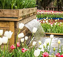 Tulips of Araluen and a waterfall by Tammee Berry