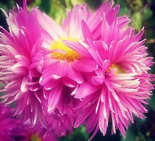 Chrysanthemums for Mother's Day. by EdsMum
