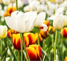Pretty white and orange Tulips in a field of green by Tammee Berry
