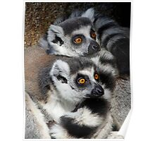 Curious Ring-tailed Lemur Friends Poster