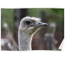 ostrich in the farm Poster