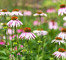 Echinacea medley by Zoe Power