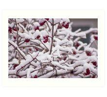 Snow On The Elderberries  Art Print
