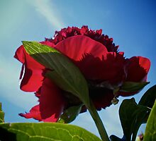Red Peony by GoddessChrissy