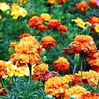 Marigolds by James Brotherton