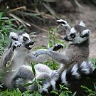Ring-tailed Lemur  by venny