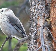 Gray Jay, Colorado by Greg Lock