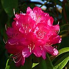 Rhododendron Glow by Margaret Saheed