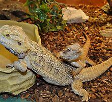 Bearded Dragon Lizards by AnnDixon