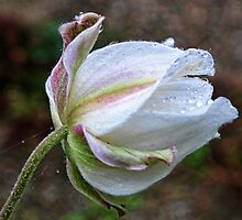 Cosmos On A Heavy Misty Day by lynn carter