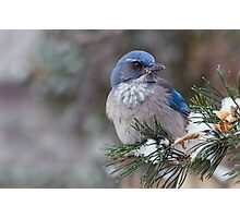 Western Scrub-Jay on snowy branch Photographic Print