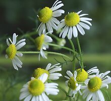 Chamomile in bloom; Lets Have Tea! by leih2008