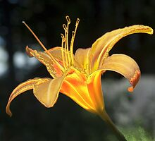 Molten Lilly by Barry Doherty