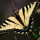 Papilio rutulus by Ron Hannah