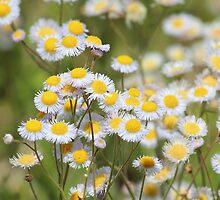 Daisy Field by Bob Hardy