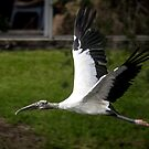 Wood Stork in Flight by Mikell Herrick