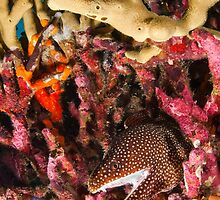 Whitemouth Moray, Wakatobi National Park, Indonesia by Erik Schlogl