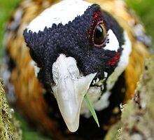Angry Pheasant by AnnDixon