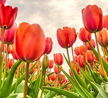 Dutch Tulips by AlexFHiemstra